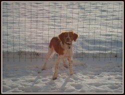 Denzy, chien Épagneul breton