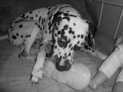 Depp, chien Dalmatien