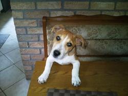 Derreck, chien Jack Russell Terrier