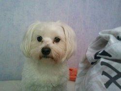 Despe, chien Bichon maltais