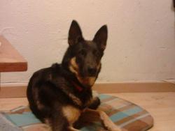 Despée, chien Berger allemand