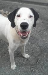 Destroy, chien Braque allemand à poil court
