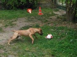 Destroy, chien American Staffordshire Terrier