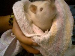 Deus, rongeur Rat