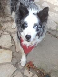 Deusty, chien Border Collie