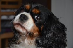 Déva, chien Cavalier King Charles Spaniel