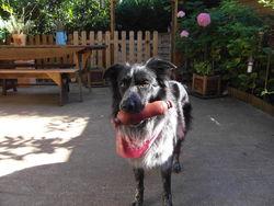 Devon, chien Border Collie