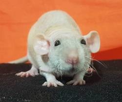 Dewey, rongeur Rat