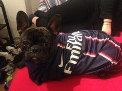 Dewey, chien Bouledogue français
