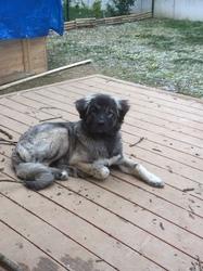 Dewrus, chien Berger d'Anatolie