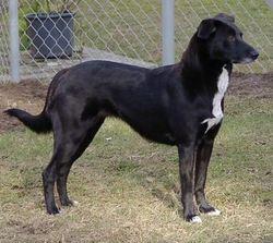 Dexter, chien Berger de l'Atlas