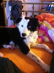 Dex, chien Border Collie