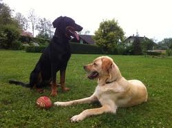Dexter, chien Labrador Retriever