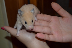 Dexter , rongeur Hamster