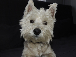 Dexter, chien West Highland White Terrier