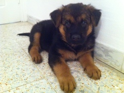 Dexter, chien Berger allemand
