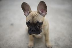 Dexter, chien Bouledogue français