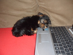 Dexter, chien Yorkshire Terrier