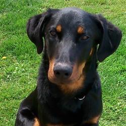 Dexter, chien Beauceron