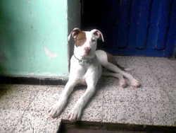 Dexter, chien American Staffordshire Terrier