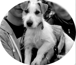 Dexter, chien Parson Russell Terrier