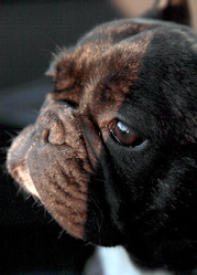 Dezy, chien Bouledogue français