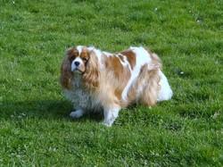 Marronnette, chien Cavalier King Charles Spaniel