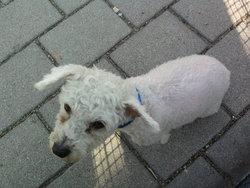 Bounthy, chien Bichon à poil frisé