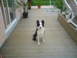 Bianca, chien Border Collie