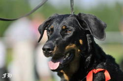 Vanji, chien Beauceron
