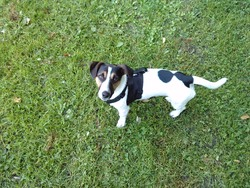 Blacky, chien Jack Russell Terrier
