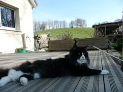Elioth, chat Maine Coon