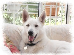 Oural, chien Berger blanc suisse