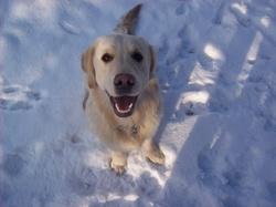 Dobby, chien Golden Retriever
