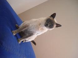 Duchesse, chat Balinais
