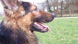 Skippy, chien Berger allemand