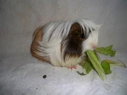 Wallace, rongeur Cochon d'Inde