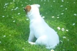 Fantaa, chien Jack Russell Terrier