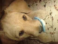 Clochette, chien Cocker anglais