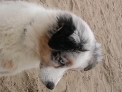 Dgem, chien Berger australien