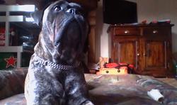 Gini, chien Bullmastiff
