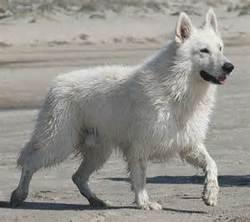 Dhana, chien Berger blanc suisse