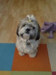 Dharma, chien Shih Tzu