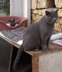 Dhior , chat Chartreux