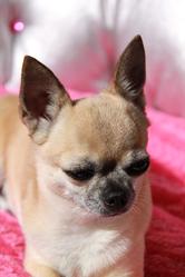 Diabel, chien Chihuahua