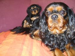 Diablo, chien Cavalier King Charles Spaniel