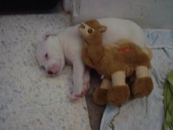 Diablo , chien American Staffordshire Terrier