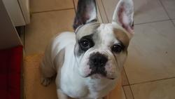 Diablo, chien Bouledogue français