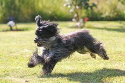Diablo, chien Bichon havanais