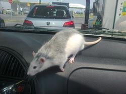 Diablo Partie Trop Tôt , rongeur Rat